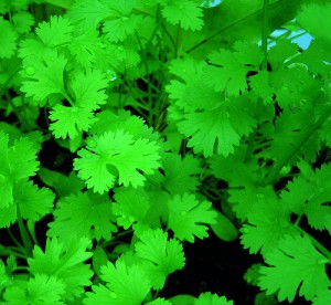 cilantro-leaves