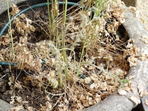 Dead Cilantro plant